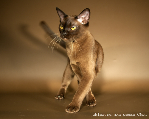 коты бурманские