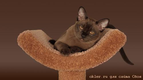 бурма кот порода