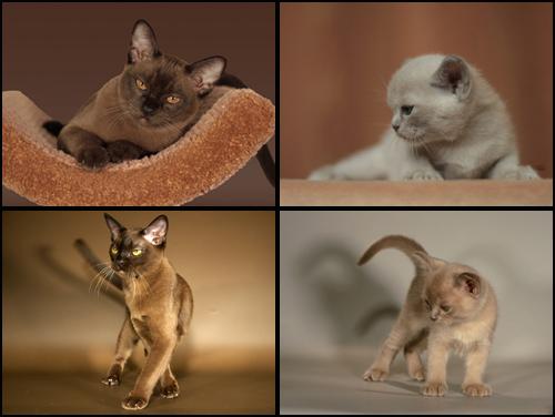 бурманские кошки, бурма