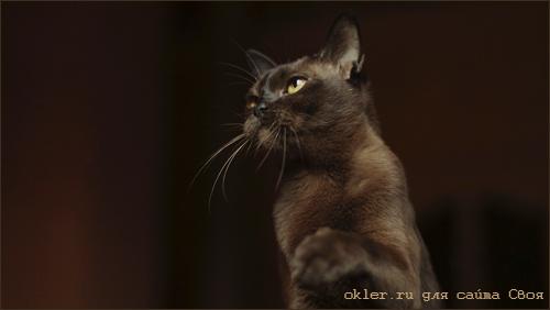 кошки бурманские