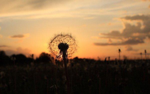 летние поля одуванчик закат