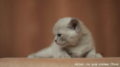 бурма кошки бурманские