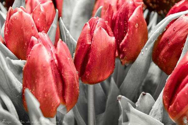 красные тюльпаны черно-белое фото