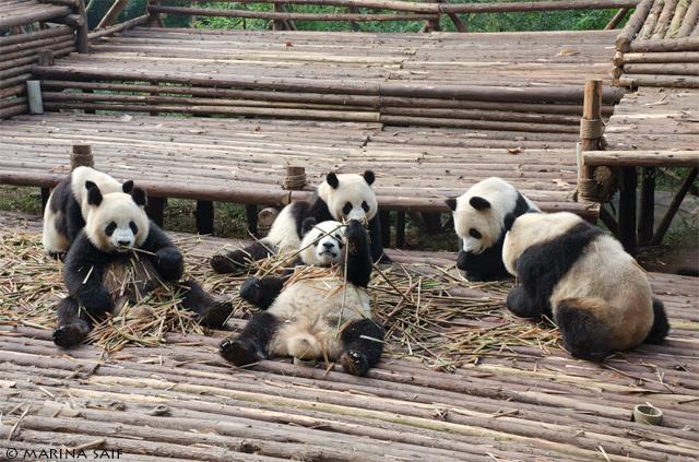 Панды в заповеднике в Китае