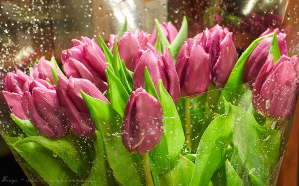сиреневые тюльпаны фото