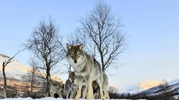 Волки зимой 1920х1080
